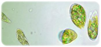 euglenaユーグレナ